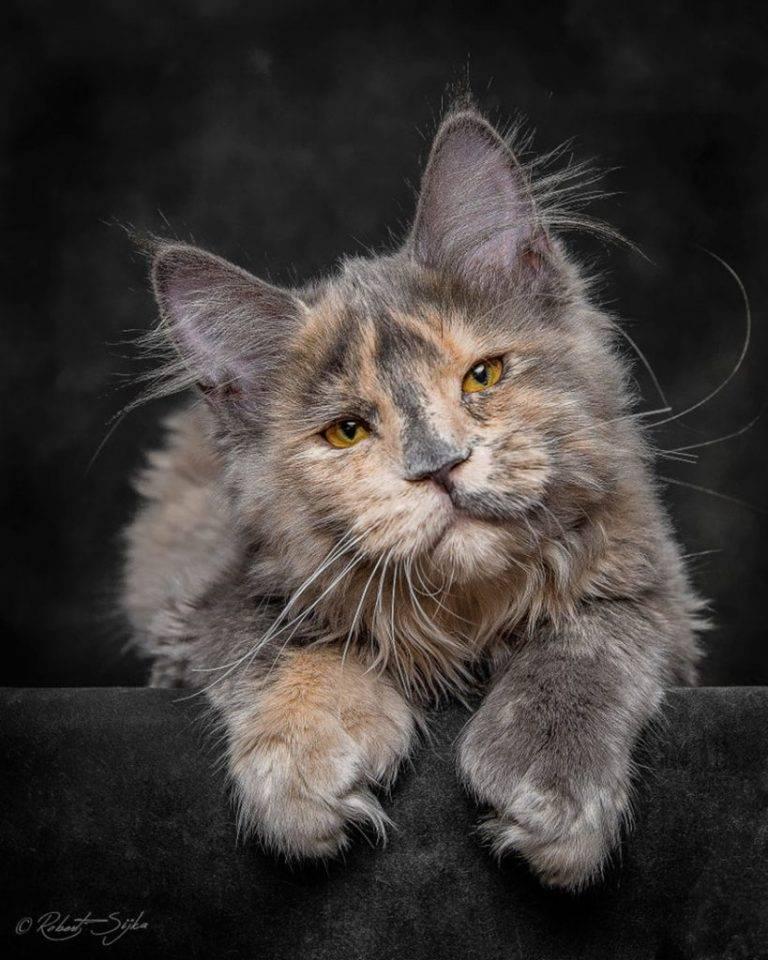 милый кот мейн кун