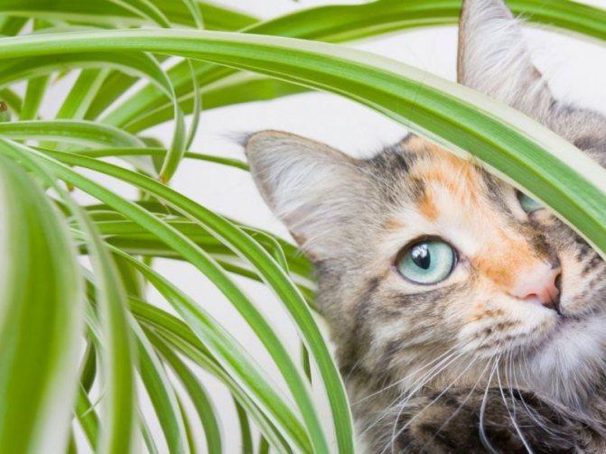 Многие кошки любят есть домашние цветы