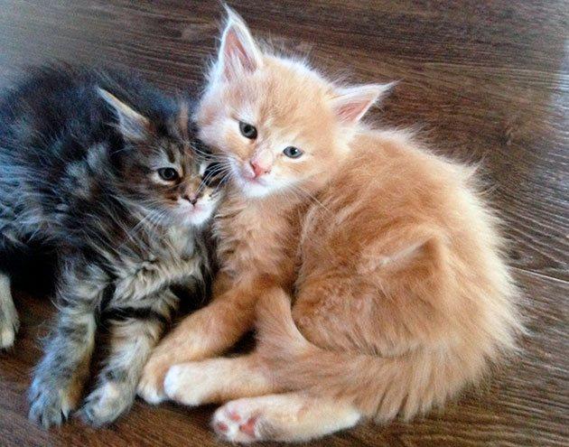 Многие владельцы дают клички в зависимости от цвета котенка мейн куна, в виде немного измененного слова на английском соответствующего цвета шерсти