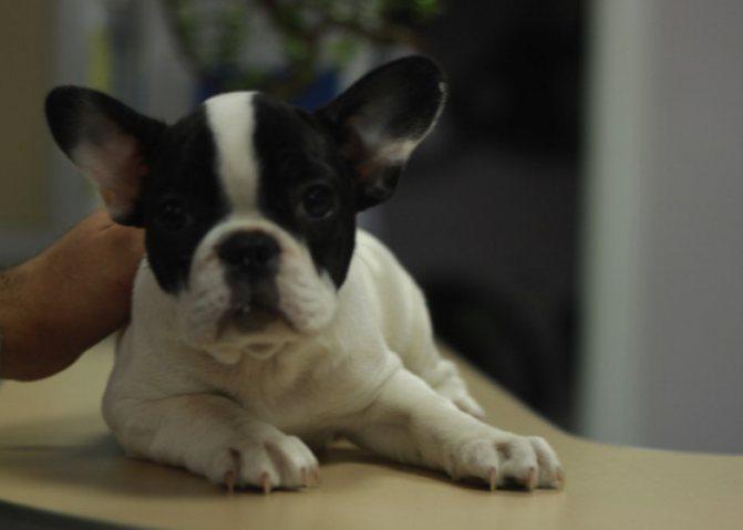 Мочекаменная болезнь у собак лечение и симптомы