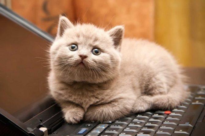 Молочный грустный кот