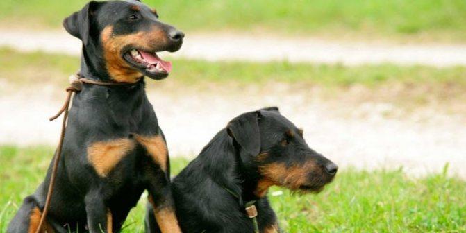 Молодые псы