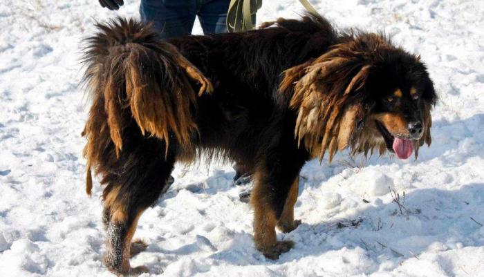 монгольские собаки банхар