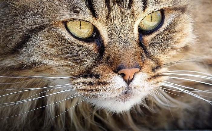 Морда длинношерстной кошки, фото фотография кошек