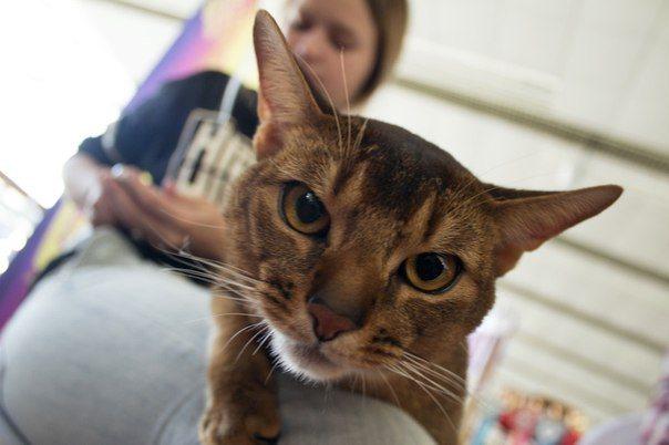 Морда кошки абиссинской породы.