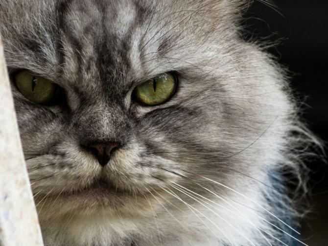 Морда персидской кошки.jpg