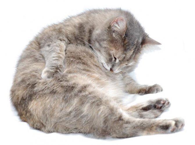 Может ли кошка просить кота во время беременности что говорят ветеринары