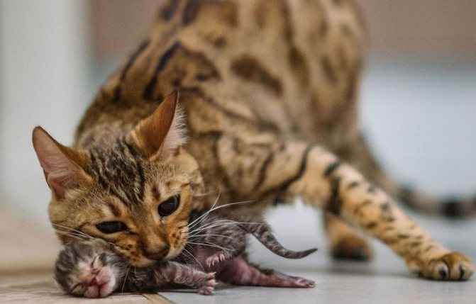 Может ли кошка съесть своих котят