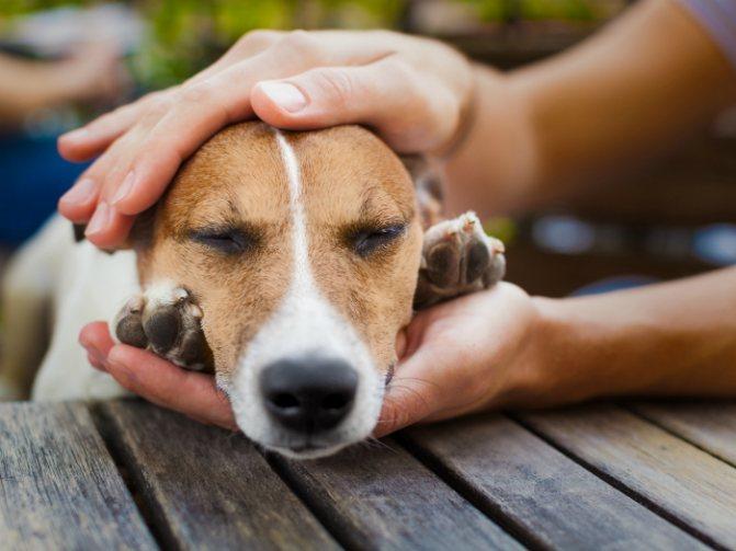 Может ли пироплазмоз от собаки передаваться человеку