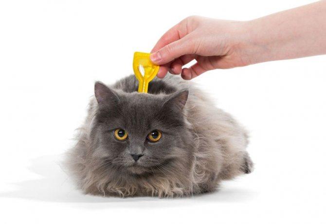 Можно беспроблемно проводить профилактику Празицидом для кошек от появления наружных паразитов