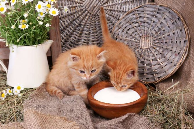 Можно ли давать кефир котятам