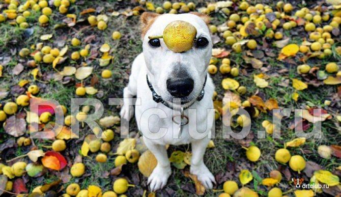 Можно ли давать собаке груши