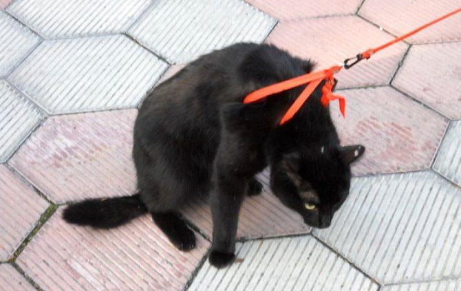 Можно ли гулять с кошкой на поводке