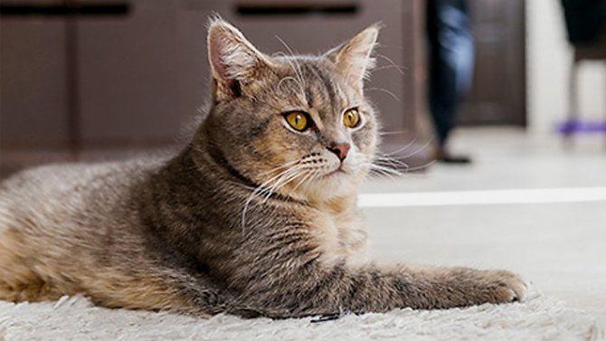 Можно ли кастрировать взрослого кота без последствий для здоровья
