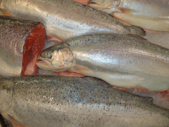Можно ли кормить кошек рыбой, какие сорта выбирать и как часто давать без вреда для здоровья. Важные правила кормления при использовании рыбы в рационе