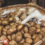 Можно ли кошкам и котам давать картошку? - ZdavNews