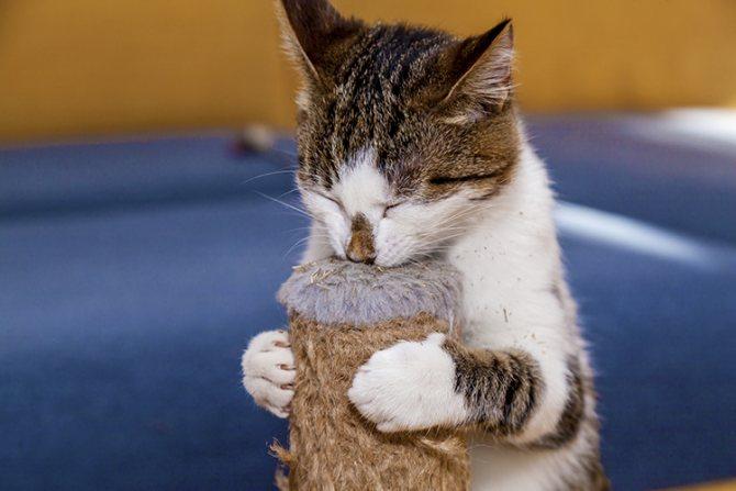 Можно ли кошкам кошачью мяту?