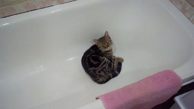 Можно ли помыть кошку человеческим шампунем