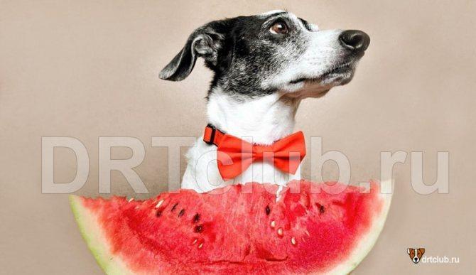Можно ли собаке давать арбуз