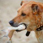можно ли собаке есть рыбу