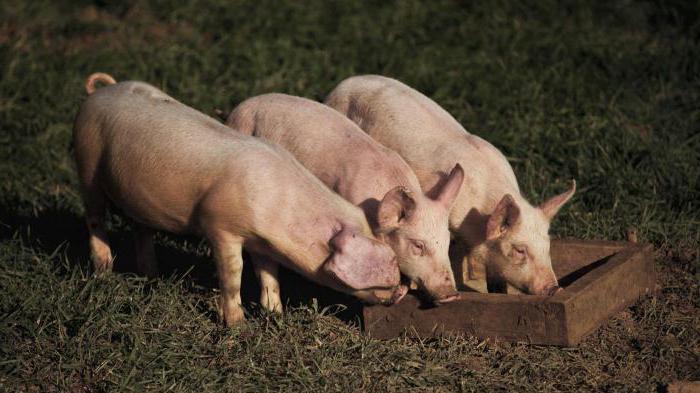 можно ли свиньям сырую картошку