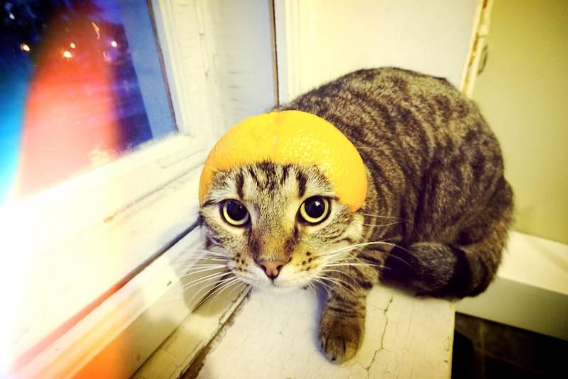 Можно воспользоваться тем, что коты не любят запах лимона