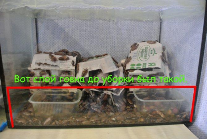 Мраморные тараканы уборка