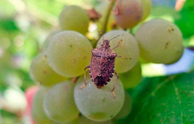 Мраморный клоп – вредитель сельского хозяйства (на фото на винограде)