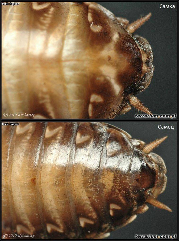 Мраморный таракан Nauphoeta cinerea - самец снизу, самка сверху