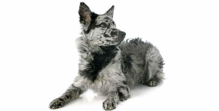 Муди порода собак