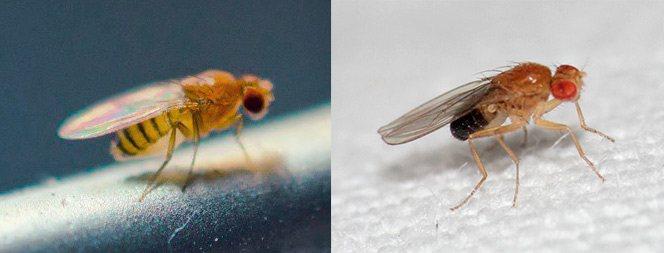 Муха дрозофила самка и самец - сравнение
