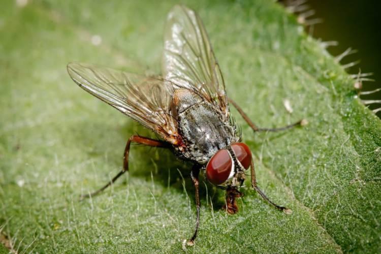 муха комнатная на листике