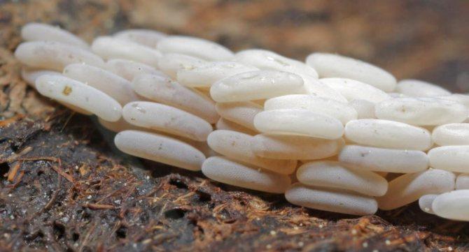 муха яйца