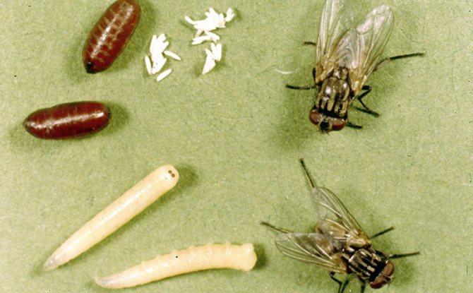 мухи и личинки