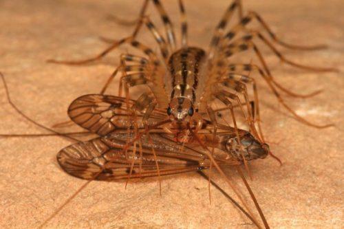 Мухоловка миролюбивое насекомое, не способное причинить вред человеку