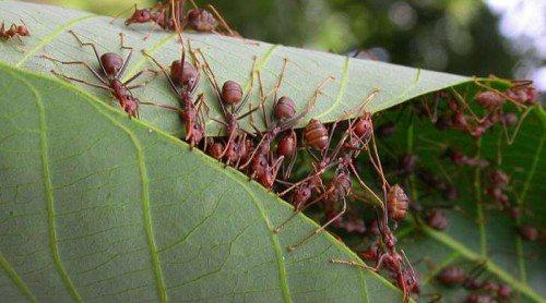 муравей портной
