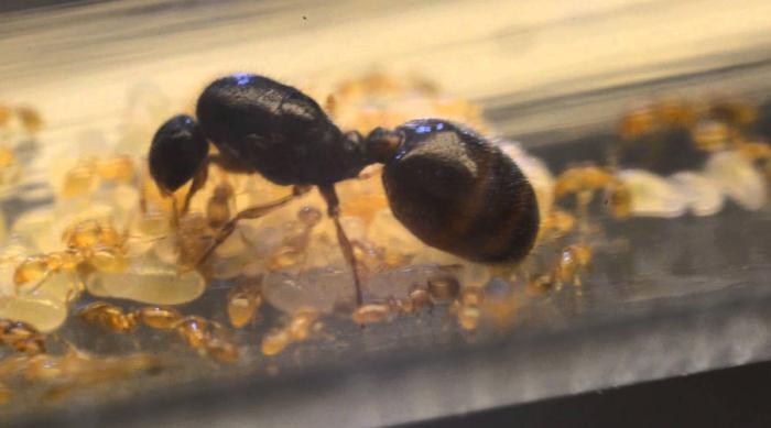 Муравьи-детоубийцы Solenopsis Fugax Эти муравьи не затрудняют себя поисками пропитания. Да и зачем, когда можно просто влезть в чужое гнездо, распугать всех рабочих и украсть личинок. Настоящие каннибалы!