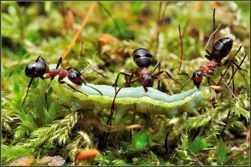муравьи фуражиры