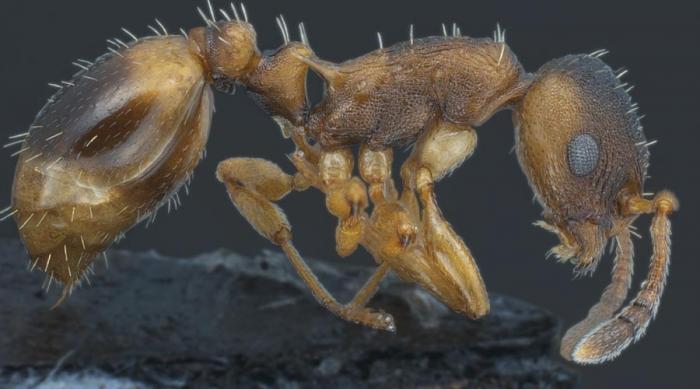 Муравьи-грабители Temnothorax Pilagens Вид так называемых муравьев-невидимок или муравьев-грабителей не имеет своих рабочих особей: здесь растят только настоящих воинов. Они нападают на мелких сородичей, утаскивают их личинок и используют их в качестве рабской силы. Как это можно назвать? Правильно, демократическое общество.