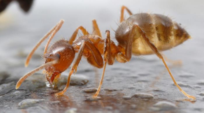 Муравьи Рэсберри Nylanderia Fulva Между этим видом и огненными муравьями идет настоящая война. Притом, яд огненных муравьев в целых три раза токсичнее инсектицида ДДТ, то есть они могут уничтожить большинство других насекомых. Кроме муравьев Рэсберри: они выпускают специальный токсин, который покрывает все тело и нейтрализует чужие яды.