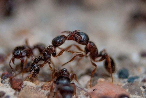 муравьи солдаты