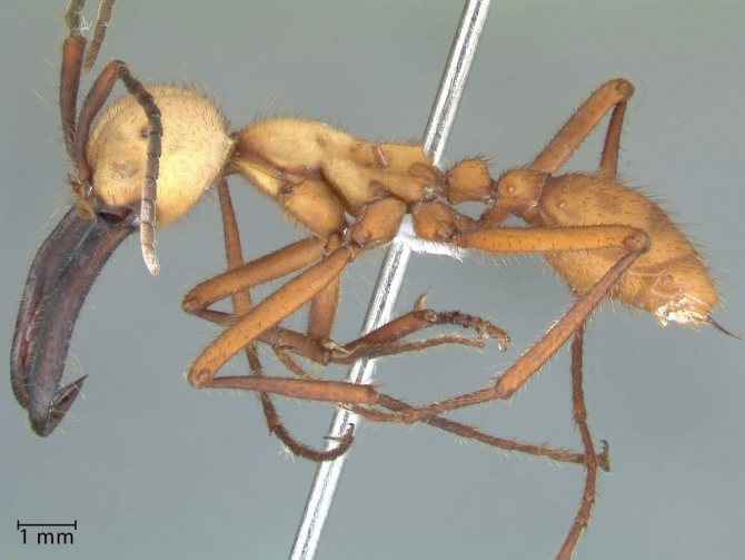 Муравьям-солдатам не нужны никакие муравейники.
