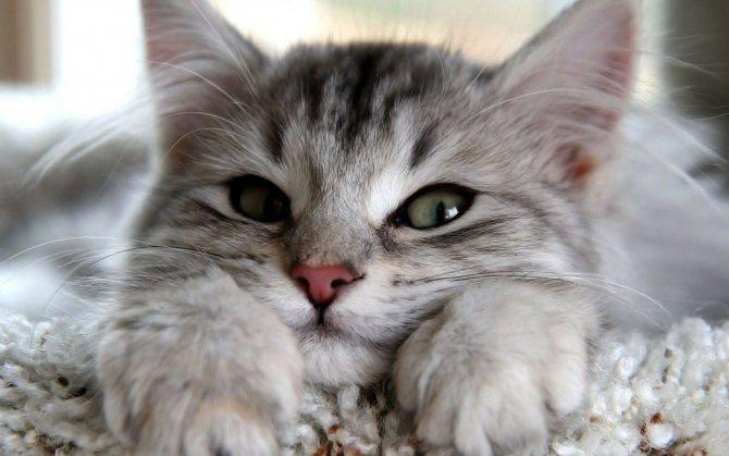 Мурлыканье кошек: причина, польза, исследования, свойства