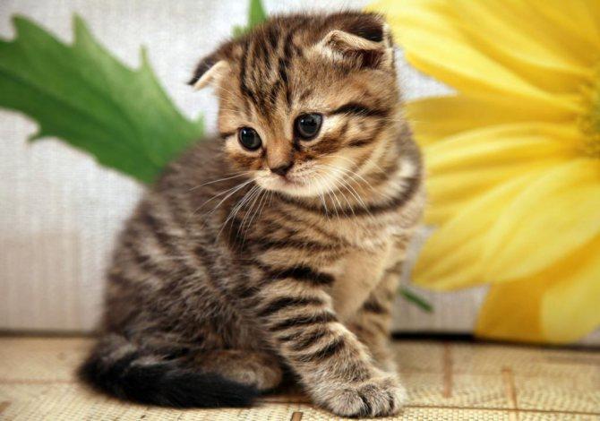 мясное детское питание для шотландского котенка