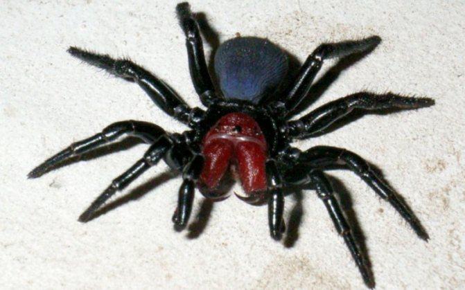 Мышиный паук (Missulena) Около 12 видов мышиных пауков обитает в Австралии. Вооруженные огромными ядовитыми клыками — хелицерами, довольно грозно выглядящими, эти пауки не так опасны, как кажутся. Их яд опасен для человека, но мышь-пауки не агрессивны, и часто, кусая свою жертву, делают «сухой» укус без яда.
