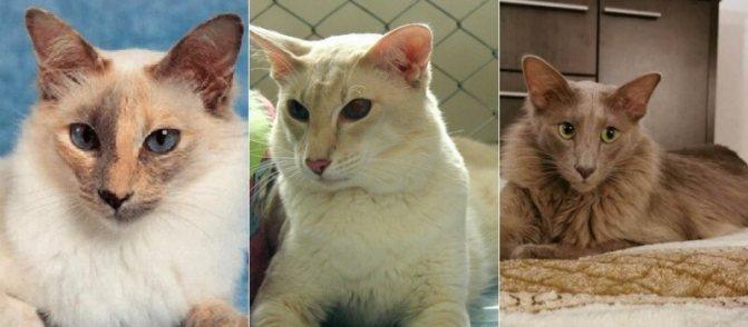 На фото кошки породы Яванез (Яванская) популярных окрасов