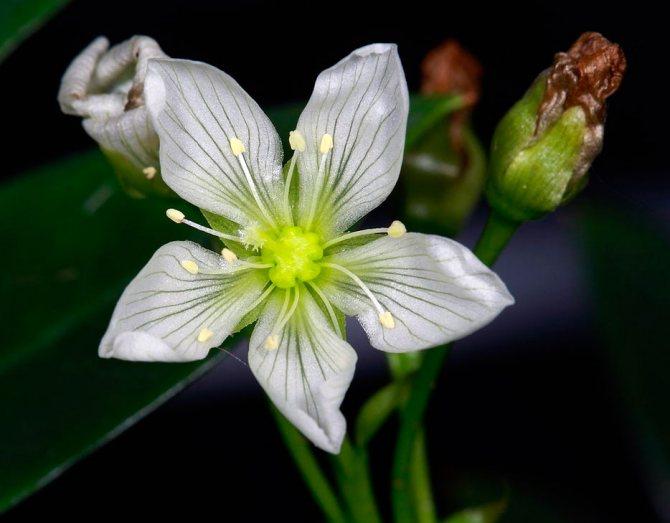На фото запечатлено цветение дионеи (венериной мухоловки)