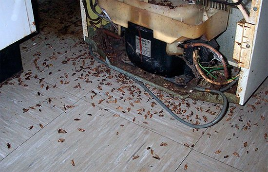 На фотографии показан пример огромного количества тараканов, прятавшихся за холодильником и уничтоженных во время травли.