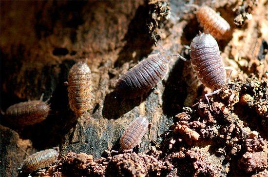 На фотографии показаны мокрицы в естественной среде обитания - в старом трухлявом пне.