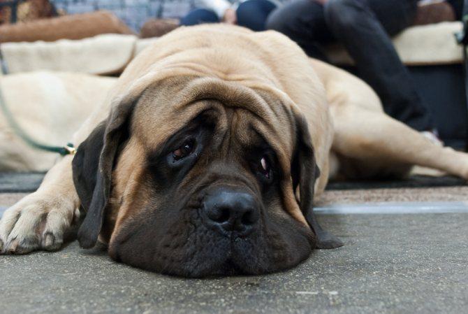 На первый взгляд собака выглядит несколько угрожающе, что может испугать не знающего человека.